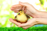 Hand with cute duckling, on bright background