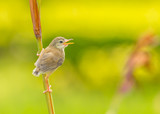 A lovely cub of Plain Prinia or White-browed Prinia poster