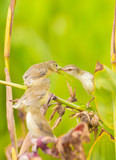 Female of Plain Prinia or White-browed Prinia giving the food poster