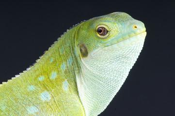 Fiji banded iguana / Brachylophus fasciatus