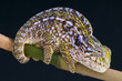 Juweled chameleon / Furcifer lateralis