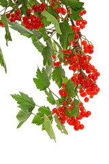 Branch of red currants isolated on white