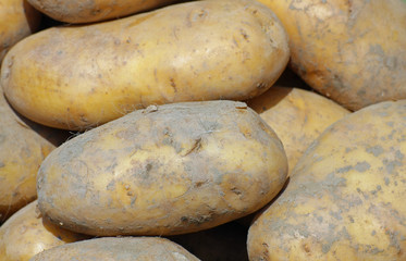 mature mountain potatoes sold by greengrocers