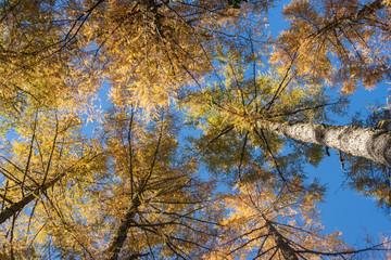 European larches in autumn colours