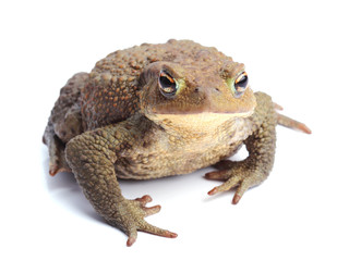 Common toad (Bufo bufo) isolate on white