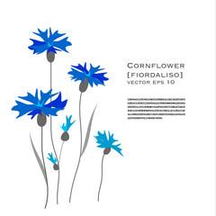 Fiordaliso illustrazione floreale