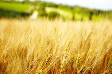 Agriculture golen background in Tuscany