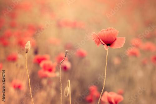 Fototapety, obrazy : Artistic poppy closeup in the sunshine