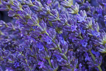 Closeup of blooming lavender in the field