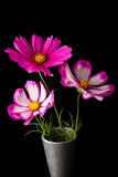 Cosmos pink and white flower