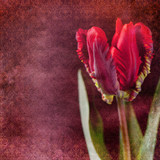 Vintage shabby chic background with tulip