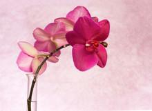 orchidée rose branche