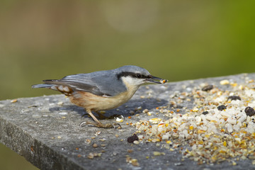 Nuthatch on bird feeder eating seed
