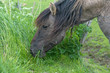 Konik horse eating grass in spring