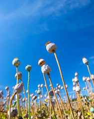 Poppy seed capsules on a background of the sky, vertical