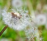 Flugschirme der Pusteblume beim Start