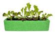 Lollo Rosso Lettuce Seedlings