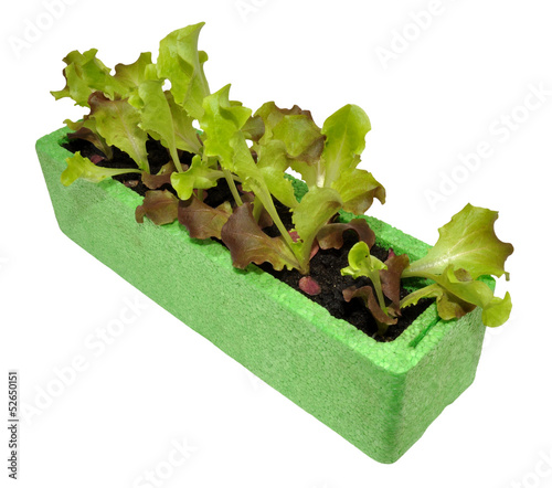 Lettuce Seedlings