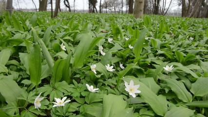 wild garlic (Allium ursinum) plants and windflower