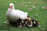 Careful duck brood of ducklings.Muscovy Duck.