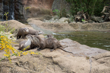 Family of oriental short-clawed otters on the stones