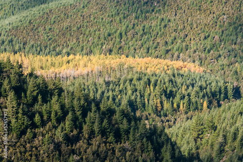aerial view of mixed coniferous woods in autumn