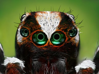 An extreme sharp close up of a Turkish jumping spider head