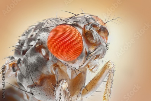 Drosophila melanogaster, the common fruit fly, extreme sharp