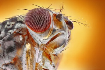 Extreme sharp and detailed image of fruit fly