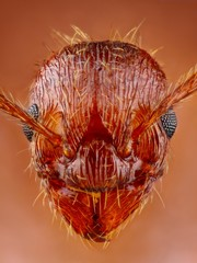 Myrmica Ant head extreme sharp and detailed
