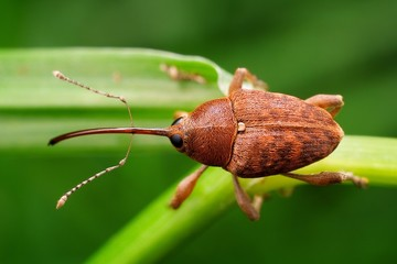 Weevil photo taken in its natural environment