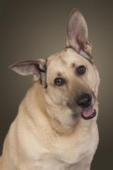 weisser Schäferhund legt den Kopf schief