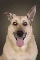 Tierportrait weisser Schäferhund