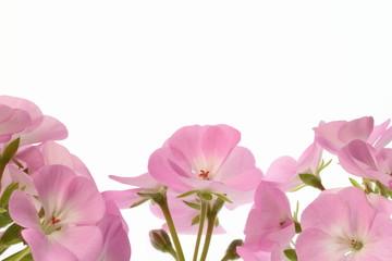 ピンクのゼラニウムの背景