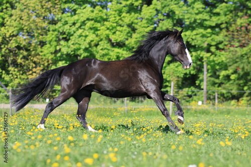canvas print picture tennessee walking horse