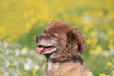 portrait hund in blumenwiese