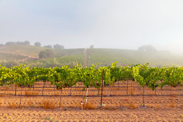 Vineyard of winery in the mist at dawn. Napa Valley, California,