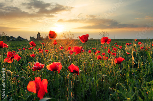Poppies field flower on sunset