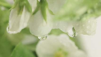 Rain drizzles on branches of apple blossoms.