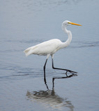 Great Egret Walk