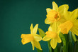 Yellow daffodils on green background