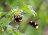 two bumblebee in the flower