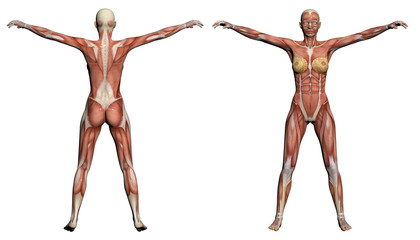 Human Anatomy - Female Muscles