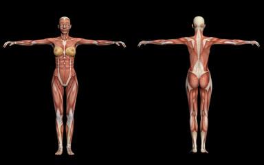 Human Anatomy -Female Muscles