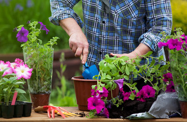 Planting surfinia flowers, gardening concept