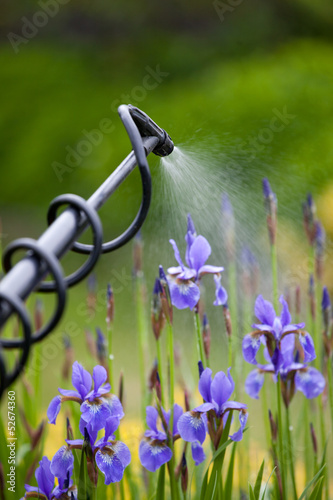 Protecting iris flower plant from vermin with pressure sprayer