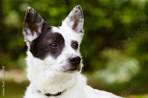 Portrait of blue heeler or Australian cattle dog with copy space