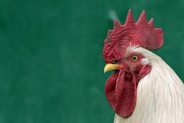 il gallo, il re del pollaio