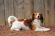 Kooikerhondje Pure Breed Dutch Dog