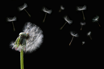 Dandelion flower and flying seeds on black background